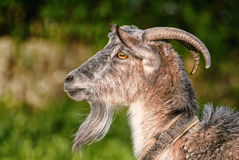 山羊,山羊属,外形画象 免版税库存照片