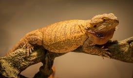 Немецкий гигантский бородатый дракон Стоковые Фотографии RF