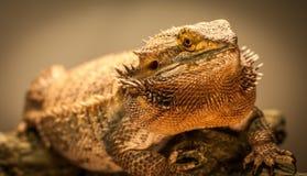 Немецкий гигантский бородатый дракон Стоковое Фото