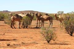 骆驼牧群 库存图片