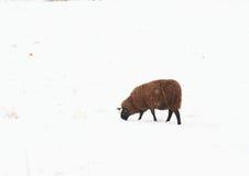 Паршивые овцы на снеге Стоковые Изображения