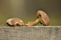 蘑菇在森林秋天 可食和毒蘑菇 子实体产物孢子 免版税库存照片