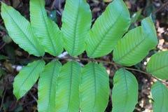 蕨叶子绿色叶子热带背景 雨林密林种植自然植物群 库存照片