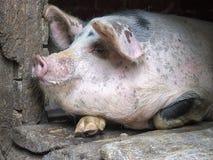 在摊位的滑稽的桃红色猪 库存照片