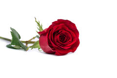 红色玫瑰在白色裁减路线隔绝的花特写镜头包括 库存照片