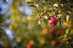 垂悬在树的红色苹果 免版税库存图片
