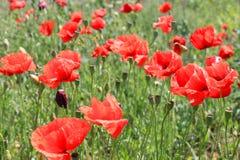 Маки на поле Стоковая Фотография RF