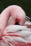 белизна фламингоа розовая Стоковое Изображение