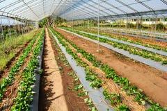 Οργανικός φυτικός κήπος φραουλών Στοκ εικόνα με δικαίωμα ελεύθερης χρήσης