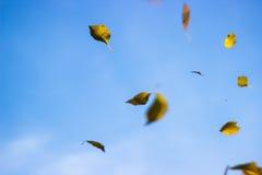 桦树叶子落 免版税库存图片