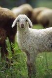 羊羔 免版税库存照片