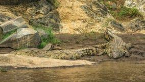 在玛拉河,肯尼亚的河岸的三条尼罗鳄鱼 库存图片