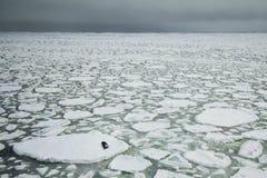 封印和冰川 库存图片