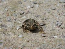 青蛙隔离 免版税图库摄影