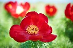美好的红色开花牡丹 免版税库存照片