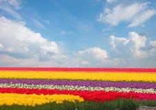 荷兰黄色郁金香领域在晴天 库存图片