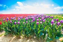 在夏天期间,紫色郁金香在阳光下 图库摄影