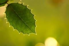 霍莉叶子和静脉在秋天阳光下 免版税库存图片