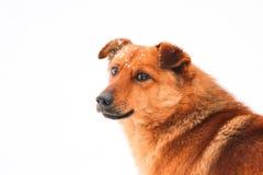 Χαριτωμένο κόκκινο σκυλί Στοκ φωτογραφία με δικαίωμα ελεύθερης χρήσης
