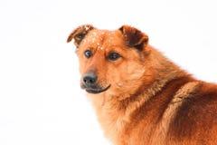 Χαριτωμένο κόκκινο σκυλί Στοκ φωτογραφίες με δικαίωμα ελεύθερης χρήσης