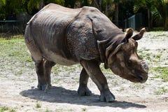 亦称一点一有角的犀牛爪哇犀牛 免版税库存图片