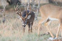 嗅到在热的白尾鹿大型装配架一只母鹿 库存照片