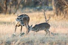 有一只母鹿的白尾鹿大型装配架在热 免版税图库摄影
