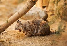 成人美洲野猫 免版税库存图片