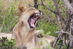 狮子哈欠在狂放的南非 免版税库存照片
