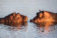 在日落光南非的河马 免版税库存图片