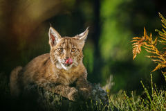 欧亚天猫座在森林里 库存图片