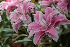 белизна путя лилии клиппирования изолированная цветком Стоковые Изображения