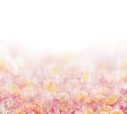 在白色的桃红色玫瑰花瓣背景 库存图片