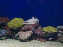 婴孩鲨鱼 库存照片