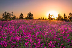 与紫色花的夏天风景在草甸和日落 免版税库存照片