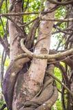 藤本植物 库存图片