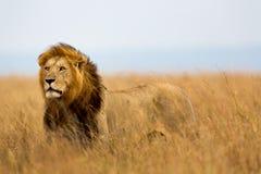 在马塞语玛拉的大狮子凯撒 图库摄影