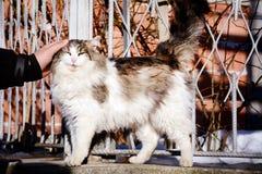 Ανθρώπινη άσπρη γάτα χαδιού χεριών υπαίθρια Στοκ Εικόνα