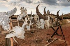 各种各样的龙受害者的头骨 库存图片