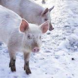 小的白色猪 库存图片