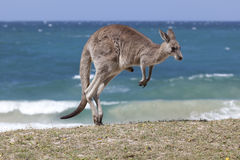 在海滩的跳跃的红色袋鼠,澳大利亚 库存图片