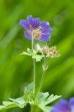 Фиолетовый гераниум Стоковые Фото