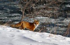 Одичалая лиса в парке Стоковая Фотография RF