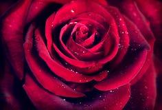 红色玫瑰花背景 库存照片