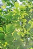 绿色留下共同的榛树背景  免版税图库摄影