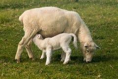 Προβατίνα με το αρνί θηλαζόντων νεογνών Στοκ Φωτογραφία