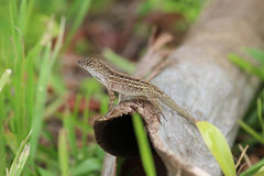 Ящерица на журнале Стоковая Фотография RF