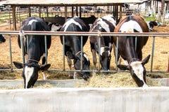 κατανάλωση αγελάδων Στοκ Φωτογραφίες