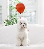 与一个红色气球的狗 库存图片