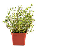 盆的麝香草植物有被隔绝的背景,被冲洗左 库存图片